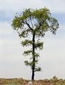 "SAMTREES Beech Tree 150mm 6"" (1)"